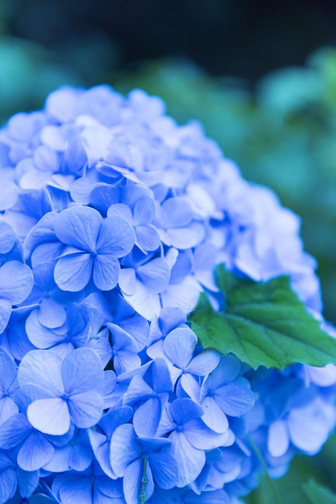 北九州ヨガスタジオ、ココカラ。雨の日の楽しみ方。紫陽花。